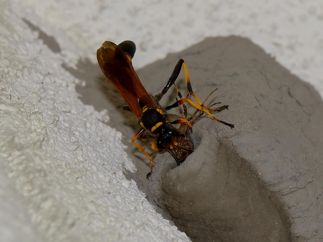 ジガバチ アメリカ